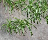 Grünlilie oder Chlorophytum Comosum Stockfotos