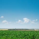 Grünmais und blauer Himmel Stockfotografie