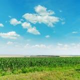 Grünmaisfeld und blauer Himmel Stockfotografie