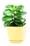 Grünpflanze Lizenzfreies Stockfoto