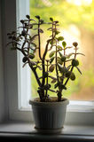 Grünpflanze auf dem Fensterbrett Stockfotografie
