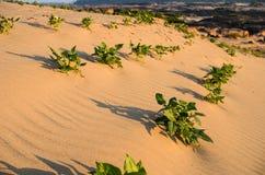 Grünpflanze auf dem Sand Lizenzfreie Stockfotos