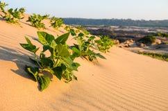 Grünpflanze auf dem Sand und der Sonne Stockbild