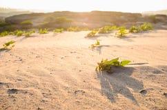 Grünpflanze auf dem Sand und der Sonne Lizenzfreies Stockfoto