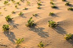 Grünpflanze auf dem Sand und der Sonne Lizenzfreies Stockbild