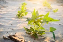 Grünpflanze auf dem Sand und der Sonne Stockbilder