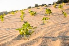 Grünpflanze auf dem Sand und der Sonne Lizenzfreie Stockfotos