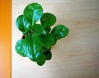 Grünpflanze auf Holztisch stockfotografie