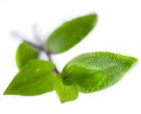 Grünpflanze auf Weiß Stockfotografie