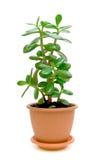 Grünpflanze (Crassula) auf einem weißen Hintergrund Lizenzfreie Stockfotos
