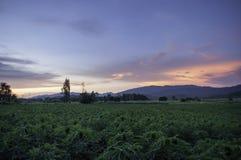 Grünpflanze des Maniokabauernhofes Lizenzfreies Stockfoto