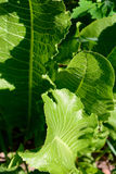 Grünpflanze des Meerrettichmakrofotos stockbild