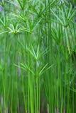 Grünpflanze des Papyrusses auf Gläsern Stockfotos