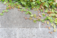 Grünpflanze, die auf Betonmauer bewirtschaftet Stockfotografie