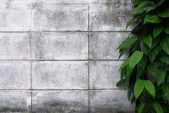 Grünpflanze, die auf einer Zementweißwand klettert Anlage auf weißem Hintergrund Stockfotografie