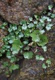 Grünpflanze, die auf Stein wächst Stockfotos