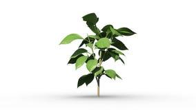 Grünpflanze, die auf weißem Hintergrund wächst stock abbildung