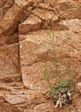 Grünpflanze, die aus unfruchtbarem Felsen-Gesicht in der Wüste heraus wächst stockfotografie
