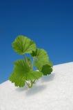 Grünpflanze, die im Schnee wächst Stockbilder