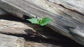 Grünpflanze, die zwischen Holz wächst Lizenzfreie Stockfotos