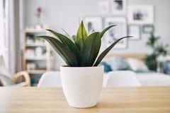 Grünpflanze in einem weißen Topf auf dem Tisch Abschluss oben lizenzfreies stockfoto