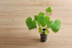 Grünpflanze in einer Plastikschale auf hölzernem Hintergrund Lizenzfreie Stockfotos