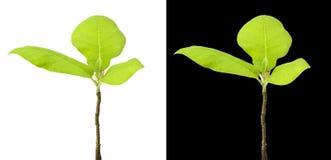 Grünpflanze getrennt stockbilder