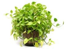 Grünpflanze im Tonwarenvase Lizenzfreies Stockfoto