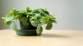 Grünpflanze im Topf Lizenzfreie Stockfotos