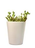 Grünpflanze im weißen Flowerpot Lizenzfreies Stockfoto