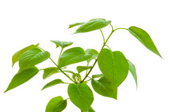 Grünpflanze lokalisiert Stockfoto