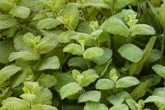 Grünpflanze mit breiten Blättern mit Tau Stockfotos