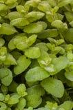 Grünpflanze mit breiten Blättern mit Tau Stockfoto