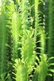 Grünpflanze mit den Dornen auf dem Stamm lizenzfreies stockfoto