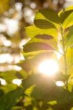 Grünpflanze mit der Sonne, die durch Blätter emporragt Stockbilder