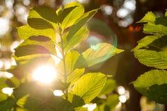 Grünpflanze mit der Sonne, die durch Blätter emporragt Stockbild