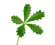 Grünpflanze mit fünf Blättern getrennt Lizenzfreies Stockfoto