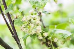 Grünpflanze mit kleinen weißen Blumen Stockfoto
