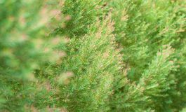 Grünpflanze mit rosa Farbe auf dem Niederlassungstipp, gewachsen als Naturfenn lizenzfreies stockfoto