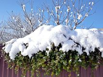 Grünpflanze unter dem Schnee auf einem Hintergrund eines blauen Himmels Stockfotos