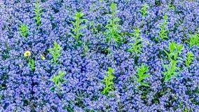 Grünpflanzeblätter wachsen aus Stemless Enzian heraus, den Blumenbeet auch Love im Nebel-Weihnachtshintergrundentwurf anrief lizenzfreies stockfoto