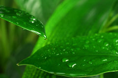 Grünpflanzeblatt Lizenzfreie Stockfotos