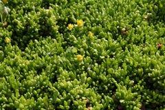Grünpflanzehintergrund sedum rubrotinctum Stockfoto