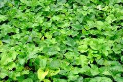 Grünpflanzehintergrund (Wasserhyazinthe) Stockfoto