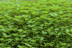 Grünpflanzen Lizenzfreies Stockfoto