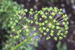 Grünpflanzen bevor dem Blühen Lizenzfreie Stockfotos