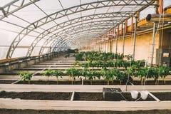 Grünpflanzen in den Töpfen und Betten im Gewächshaus Lizenzfreie Stockfotos