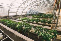 Grünpflanzen in den Töpfen und Betten im Gewächshaus Lizenzfreies Stockfoto