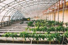 Grünpflanzen in den Töpfen und Betten im Gewächshaus Stockbild