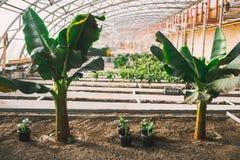 Grünpflanzen in den Töpfen und Betten im Gewächshaus Lizenzfreies Stockbild